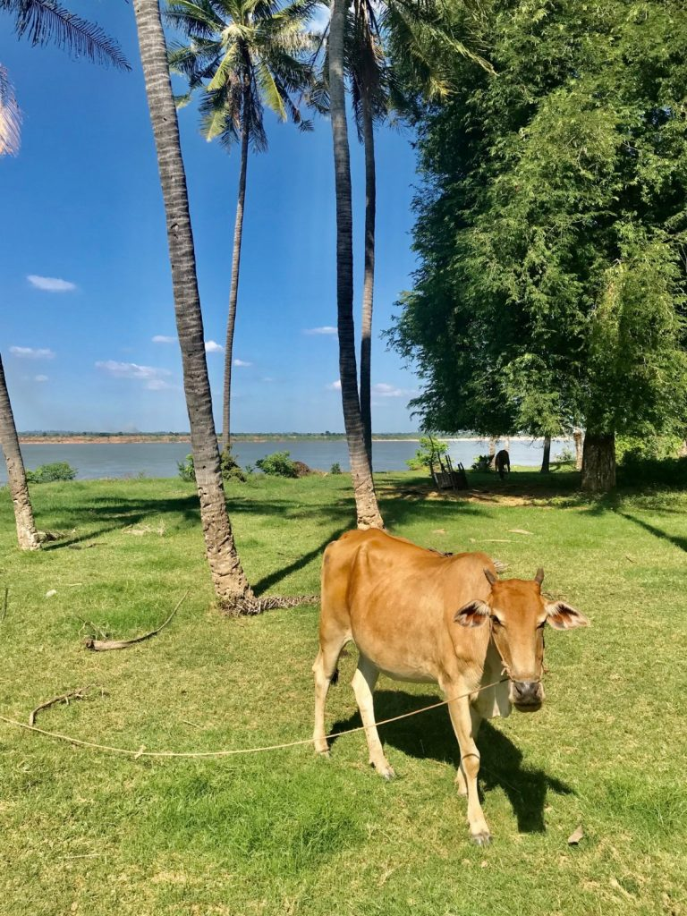 Cambo Challenge Cow on the Mekong